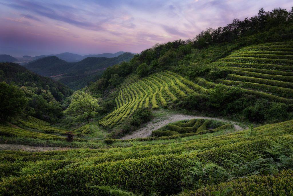 Boseong green tea field