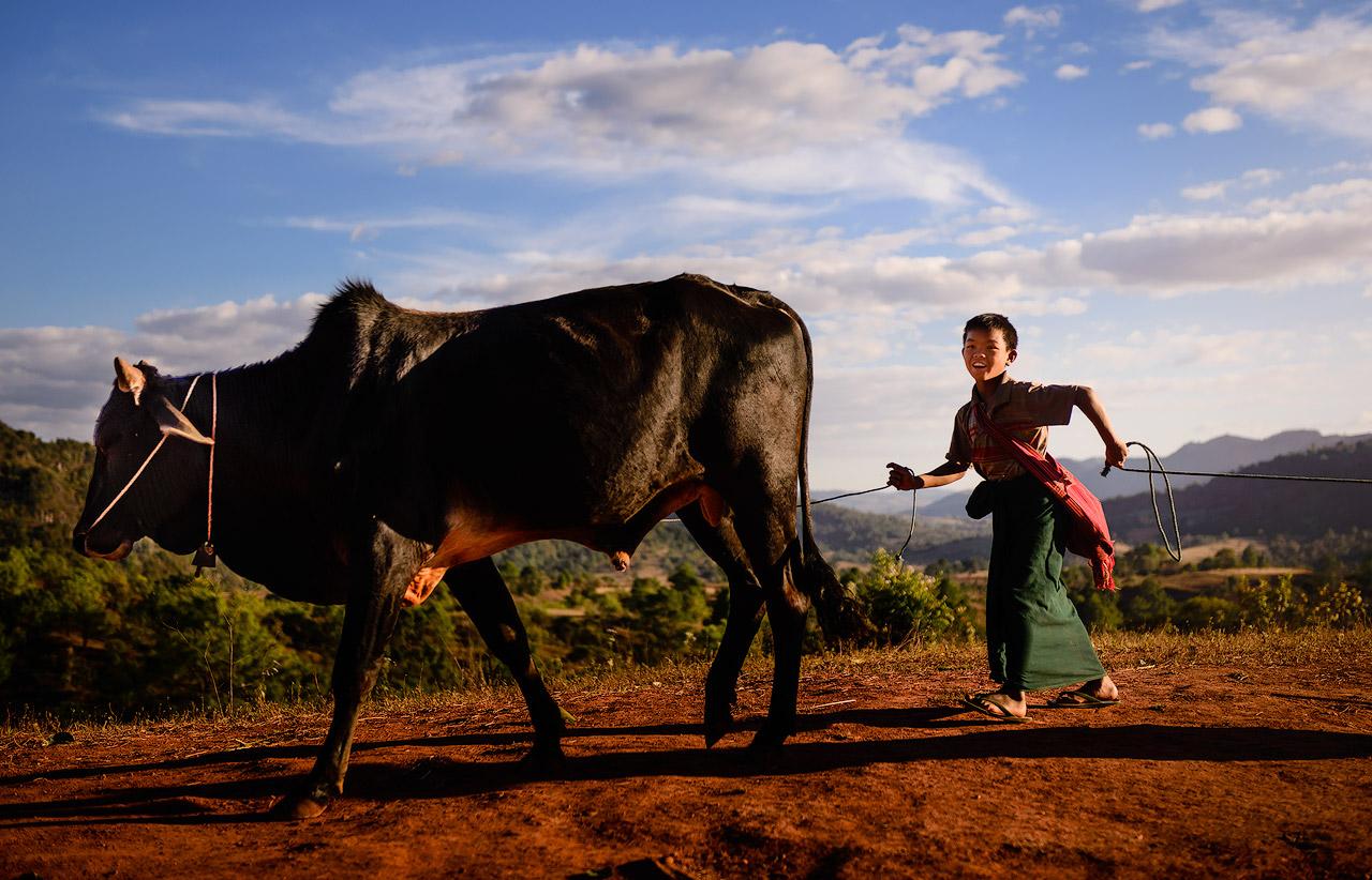 Boy herding an ox in Myanmar